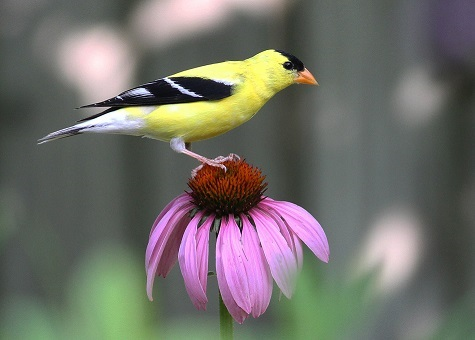 Echinacea purpurea and American Goldfinch. Photo: Will Stuart